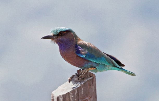 An Indian Roller is seen perched on a branch in a rice field in Bokor National Park in Kampot province. (Rob Overtoom)